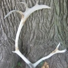 Antler
